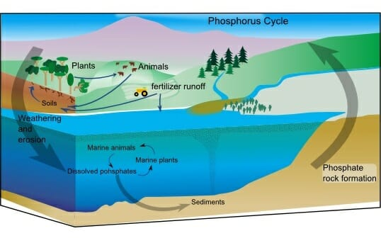 the phosphorus cycle is a slow process, which involves five key steps, as  shown in the diagram below and described as follows: