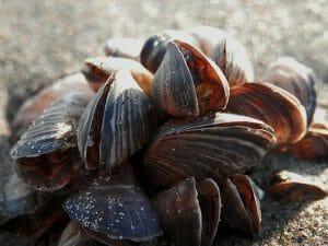 Unidentified Bivalve Shells