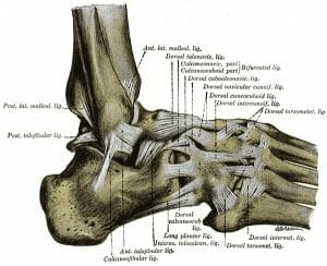 Ligaments of the foot from the lateral aspect