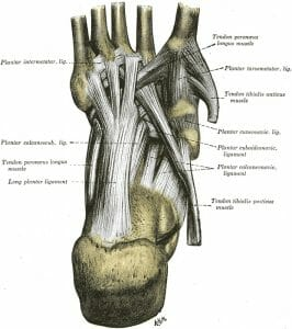 Ligaments of the sole of the foot