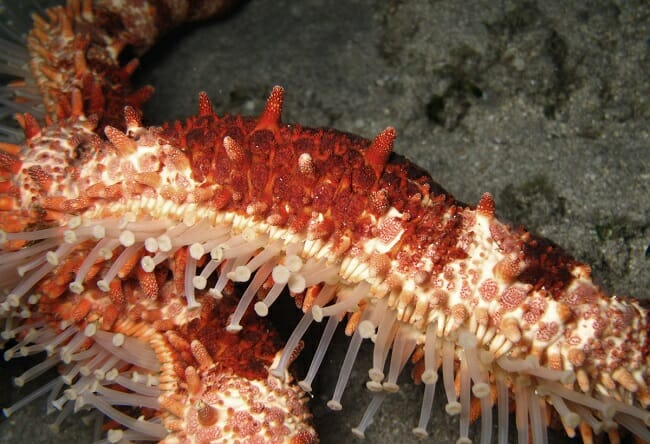 Sea cucumber asexual reproduction definition