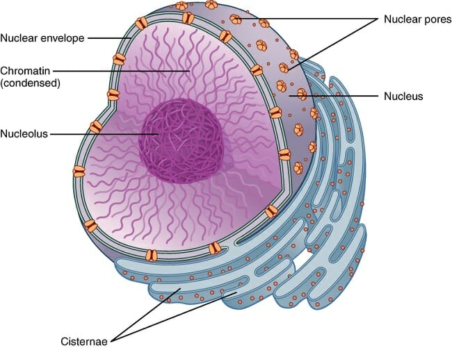 Cellular nucleus diagram data library cell nucleus plant animal definition and examples biology rh biologydictionary net cell nucleus history eukaryotic cell nucleus diagram ccuart Gallery
