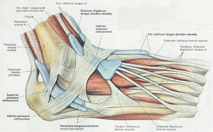 Anatomy of tendon