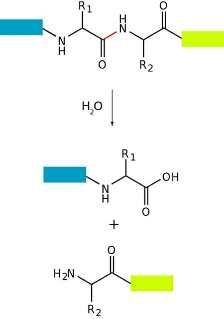Proteolyysi