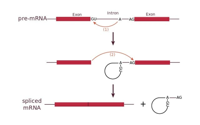 Intron - Definition, Function and Structure   Biology Dictionary