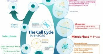 Animal cell cycle