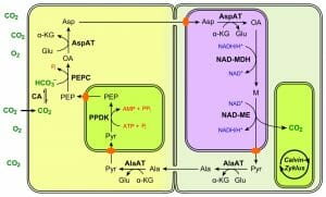 C4 photosynthesis NAD-ME type