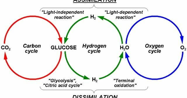 Oxygen and carbon dioxide cycle biology dictionary ccuart Gallery