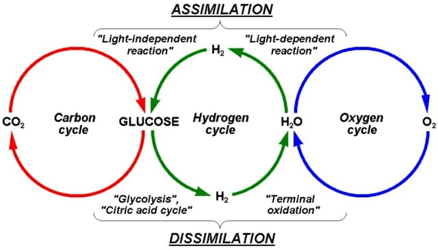 Oxygen and carbon dioxide cycle biology dictionary the image above shows the interrelationship between the carbon oxygen and hydrogen cycles in plants ccuart Choice Image