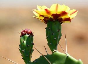 Cactus (Opuntia phaeacantha) flower