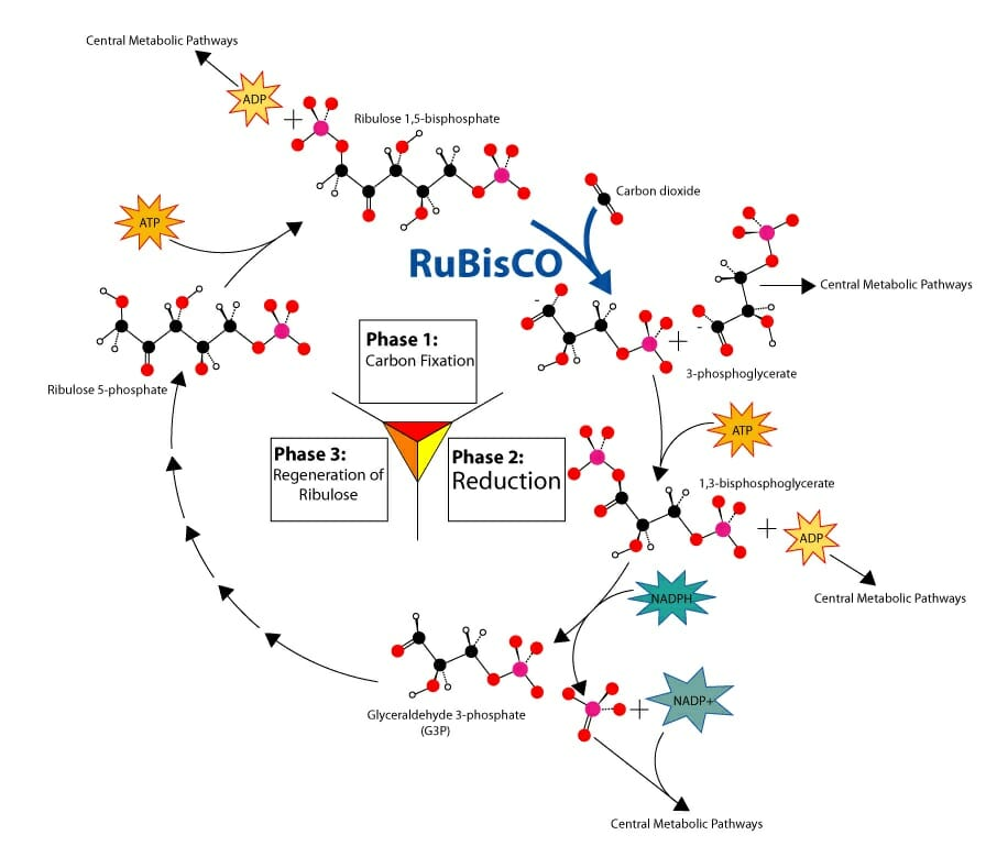 C3 c4 and cam plants differences and comparison biology dictionary the image above shows the c3 carbon fixation pathway also known as the calvin cycle used my many types of plants ccuart Gallery