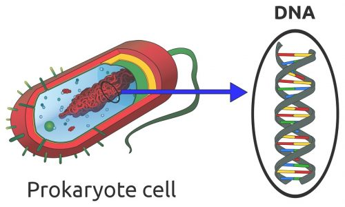 DNA in prokaryote cell