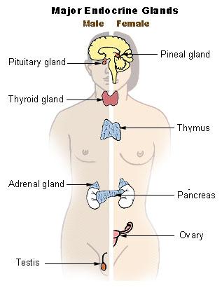 Endocrine Glands Anatomy Definition List Function Biology