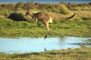 Flying kangaroo