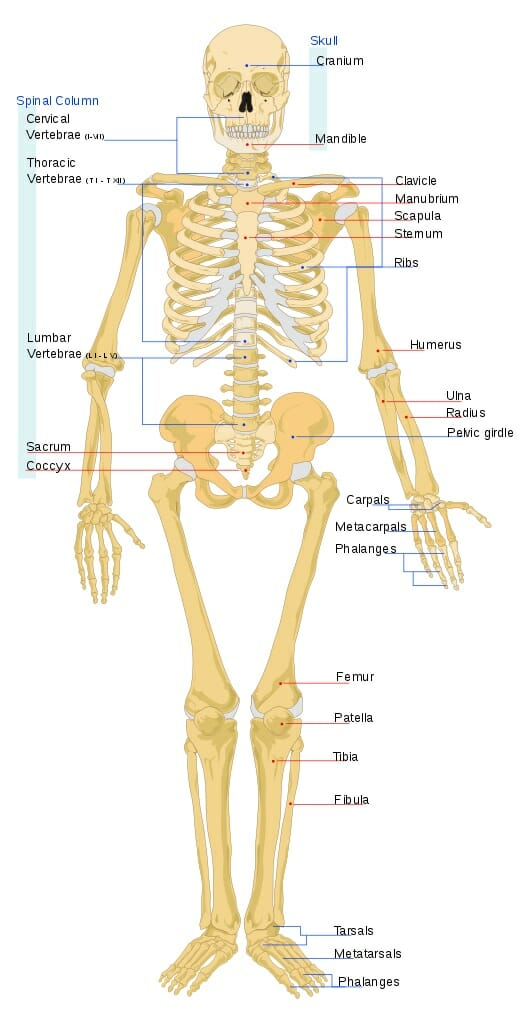 Skeleton Human Anatomy Overview Function And Structure Biology