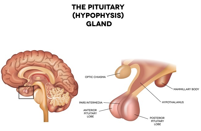 pituitary gland definition function and location biology dictionary rh biologydictionary net