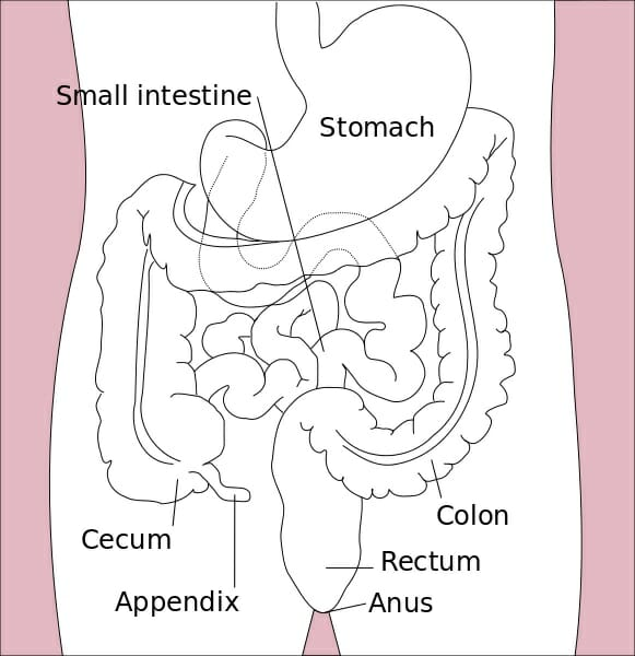 Small intestine anatomy diagram