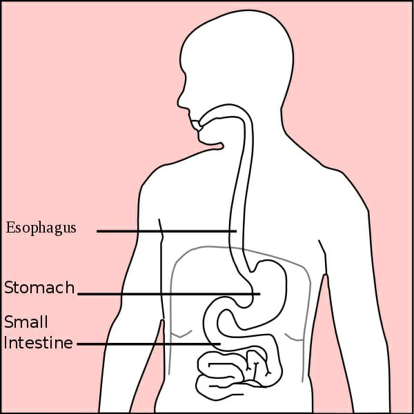 Stomach  Anatomy   Definition  Function  Structure