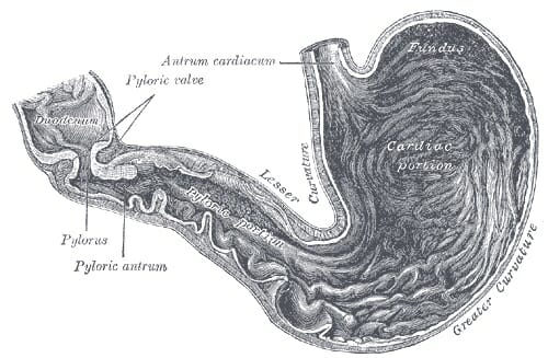 Stomach (Anatomy): Definition, Function, Structure | Biology Dictionary