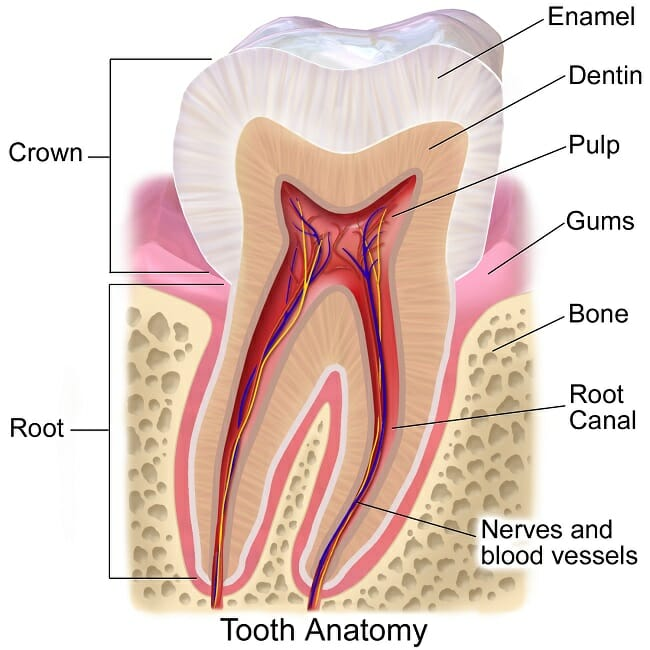 Teeth anatomy definition function and structure biology dictionary structure of the tooth ccuart Image collections