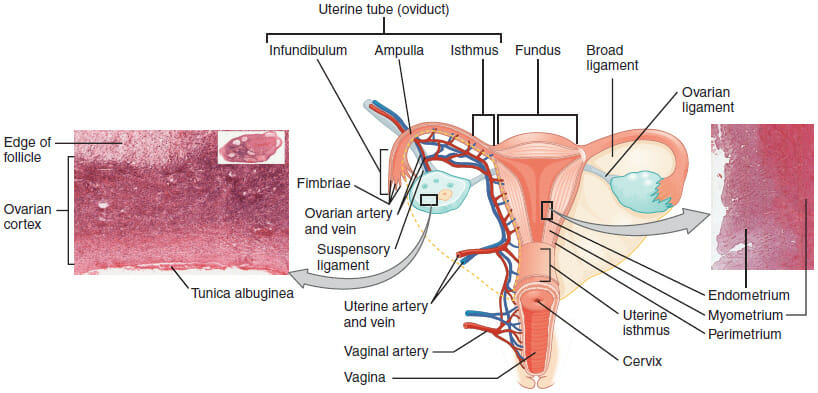Uterus anatomy definition function location biology dictionary the image above depicts a diagram of the uterus with labeled tissue and arterial landmarks ccuart Gallery