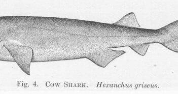 Cow Shark Hexanchus griseus