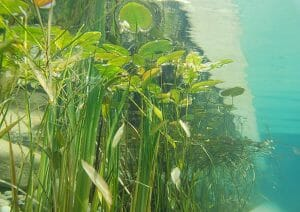 Underwater photography pond plants