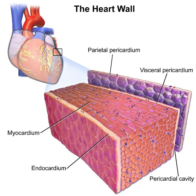 Cardiac Muscle Heart Muscle Definition Function Structure