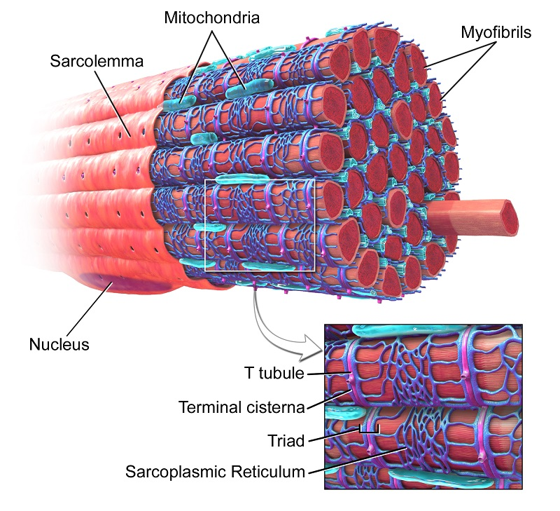 Muscle Cell (Myocyte): Definition, Function, Structure | Biology ...