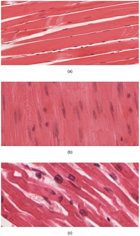 Muscle Tissue Definition Function And Types Biology Dictionary