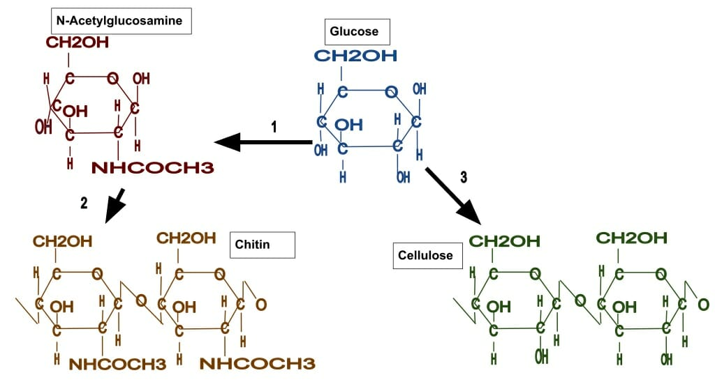 one difference between plants and fungi is in the main substance that makes  up their cell walls  the image above shows how n-acetylglucosamine  polymerizes