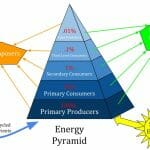 Why Are Ecological Pyramids Shaped As Pyramids