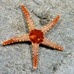 Do Echinoderms Have a Brain