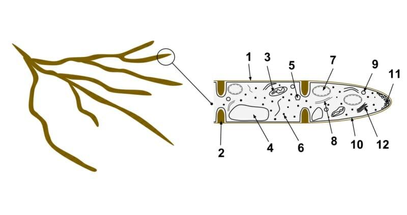 (1- hyphal wall 2- septum 3- mitochondrion 4- vacuole 5- ergosterol crystal  6- ribosome 7- nucleus 8- endoplasmic reticulum 9- lipid body 10- plasma