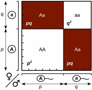Hardy-Weinberg law, Punnett square