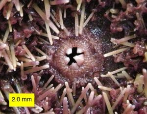 Oral surface of Strongylocentrotus purpuratus