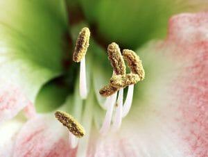 Stamens of a Hippeastrum flower