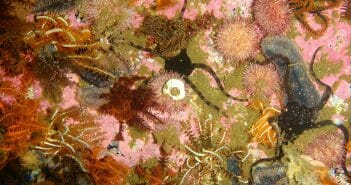 Various echinoderms at North Friskies Pinnacle