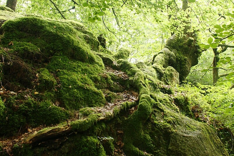 Bryophyte: definition, characteristics, life cycle, examples.