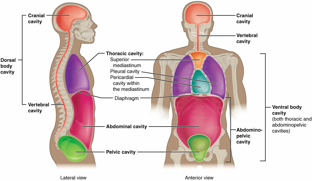 Body Cavities And Organs Biology Dictionary