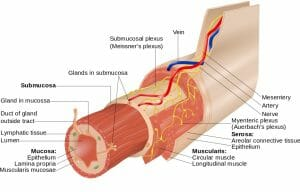 Layers of the GI Tract