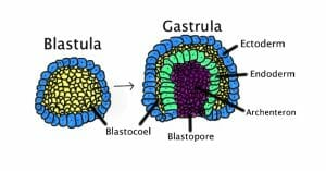 Process of gastrulation