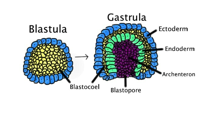 Gastrulation in Frog Embryo, Chick Embryo and Sea Urchin