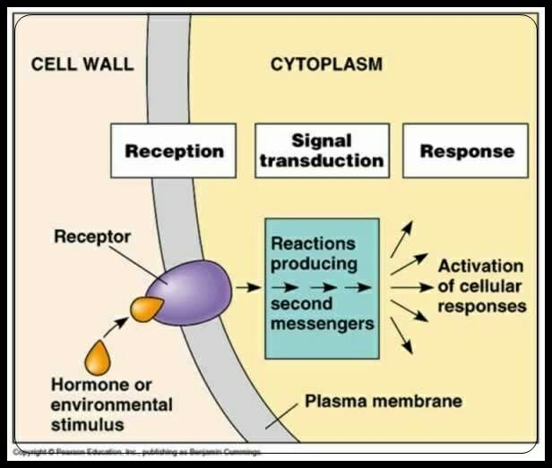 Signal Transduction Definition Pathways Examples Biology Dictionary
