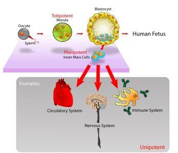 Stem cells diagram