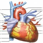How Does the Circulatory System Maintain Homeostasis