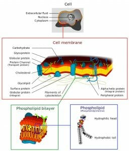 Cell membrane detailed diagram