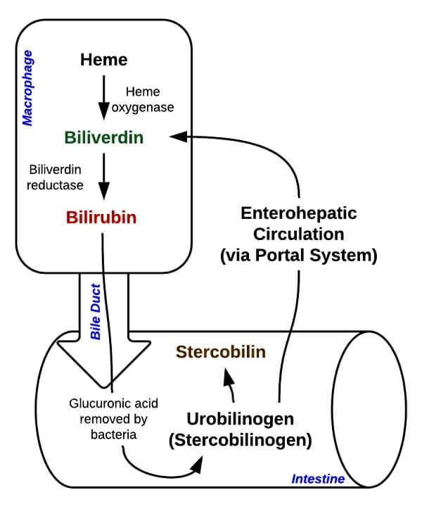 Bilirubin - Definition, Test and Explanation | Biology ...  Bilirubin - Def...