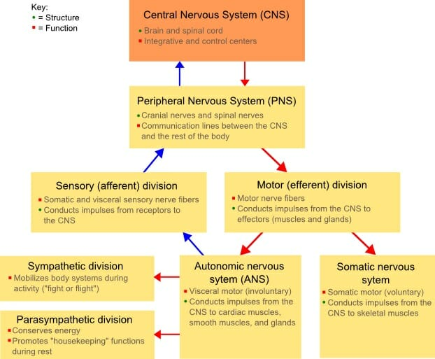 How Does The Nervous System Maintain Homeostasis Biology Dictionary