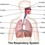 How Does the Respiratory System Maintain Homeostasis